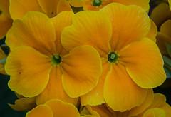 Twins (frankmh) Tags: plant flower kullagunnarstorp skåne sweden outdoor