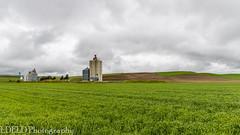 NT3.0033-CW1605618_38646 (LDELD) Tags: palouse colton washington unitedstates us wheat spring green