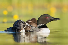 1 space available! - Loon Workshop (www.connorstefanison.com) Tags: connor stefanison common loon workshop mother chicks young riding back spring british columbia canada interior gavia immer