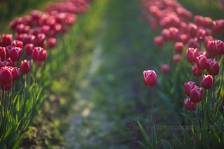 Skagit Tulips Bokeh
