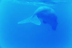 Dugongo (Landersz) Tags: philippines filippine coron palawan club paradise snorkeling turtle shark clownfish nemo dugong landersz canon 5dmk3 nimar gopro hero5