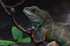 Unknow Lizard (scv1_2001) Tags: nikon nikon70200mmvrii nikond750 taiwan taipeizoo 台北市立動物園