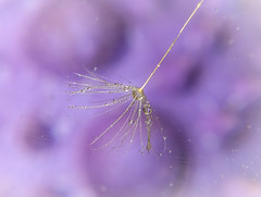 Caught by a spider web.. (jo.pinkroses) Tags: web garden outdoor seed dandelion droplets water xs1 fuji