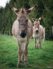 Ânes (rgdpix) Tags: anes âne ânes ane animaux animals animal wild nature beautiful patience famille amitié naturel intelligence cerebral regard eyes donkey donkeys