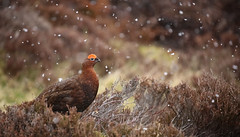 Red Grouse (forbesimages) Tags: red grouse glen quaich amulree scotland snowing snow wild