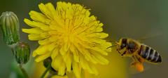 Recolectando polen (Rafa perena) Tags: abeja bee flor polen macro sigma180 nikon primavera flower flores