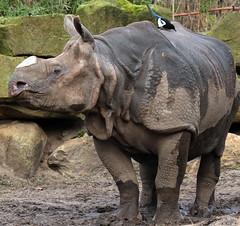 pantser neushoorn blijdorp JN6A3653 (joankok) Tags: blijdorp neushoorn rhinoceros indianrhinoceros indischeneushoorn pantserneushoorn namaste mammal zoogdier india azie asia dier animal herbivore
