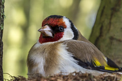 18 04 2017 Chardonneret (rjp62126) Tags: 24105f4lisusm canon canon6d chardonnerais nordpasdecalais pasdecalais perneslesboulogne cotedopale faune france hautsdefrance nature nid oiseau