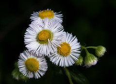 fleabane_09868 (McConnell Springs) Tags: mcconnellspringspark wildflowers lexingtonky lexingtonparksrecreation