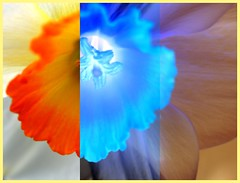 Spring me joy (vegeta25) Tags: spring springmejoy art artistic play negative flower narcissus white blue