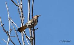Pic flamboyant / Northern flicker male (ricketdi) Tags: bird pic picflamboyant northernflicker colaptesauratus ngc