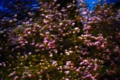 Magnolia forever (1s. exposure during full moon at midnight) (Max Sat) Tags: blur flou floudebougé fuji fujixe1 fujinon hautemarne magnolia maxsat maxwellsaturnin motionblur night nuit pink rose xf60