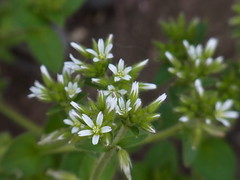 オランダミミナグサ (nofrills) Tags: plant plants flora floral flowers weed weeds spring roadside tokyo japan white whiteflower whiteflowers オランダミミナグサ chickweed macro urbannature green tiny