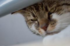 Hello Minet ! (Mystycat =^..^=) Tags: minetthecat chat cat gatto gato katze kitty feline félin mammifère animal coth5