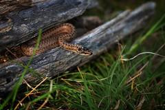 Coronella austriaca (AlexandreRoux01) Tags: smooth snake coronella austriaca coronelle lisse