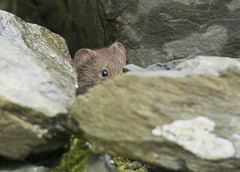 Vole (lord wardlaw) Tags: vole bank gwynedd sony sigma north wales wildlife snowdonia mammal