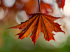 Canadian spring 🌞 (Simple_Sight) Tags: spring leaf leaves maple redmaple garden outdoors red green bokeh canada closeup macro nature plant ngc npc