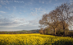 Sunday Morning (.Brian Kerr Photography.) Tags: cumbria rapeseed edenvalley sunday morning spring yellow colours fields trees sony a7rii outdoor outdoorphotography nature naturallandscape natural briankerrphotography briankerrphoto landscapephotography photography clouds sky sunny weather blue greens
