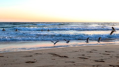 63+496: Birds of a feather ... (geemuses) Tags: manlybeach manly nsw australia scenic landscape silvergulls sunrise beauty ocean sea water sand beach wave blue surf bodysurf horizon colour color