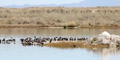 Northern Shoveler Haulout (Anas clypeata); Wilcox, AZ, Twin Lakes [Lou Feltz] (deserttoad) Tags: bird wildbird wildlife nature lake shore waterfowl ducks reflection arizona