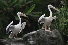Great White Pelican (scv1_2001) Tags: nikon nikon70200mmvrii nikond750 taipeizoo bird animal 台北市立動物園