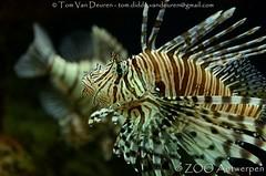 Indische Koraalduivel - Pterois miles - Common Lionfish (MrTDiddy) Tags: indische koraalduivel pterois miles common lionfish zooantwerpen zoo antwerpen antwerp