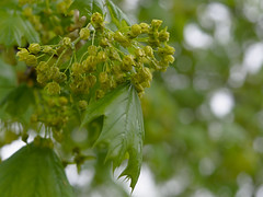 P4261363 (Paul Henegan) Tags: acersaccharum blossoms blur branchlets buds green leaves maple rainyday spring