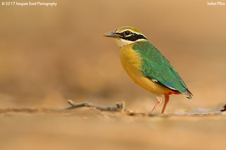 Indian Pitta!!(_EJ1C6539)