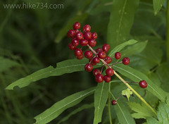 """Red Baneberry • <a style=""""font-size:0.8em;"""" href=""""http://www.flickr.com/photos/63501323@N07/34348499285/"""" target=""""_blank"""">View on Flickr</a>"""