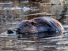Busy Beaver Breakfast Break (edmason88) Tags: beaver breakfast nibble tamron150600 elkislandnationalpark alberta
