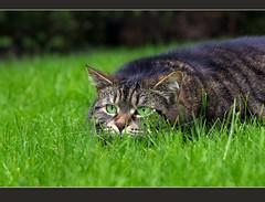 Cleo is hunting (FocusPocus Photography) Tags: grass cat canon garden feline chat hunting lawn kitty gato gras katze cleo focused garten huntress shorthaired rasen jger jagt 60d kurzhaarkatze sunrays5