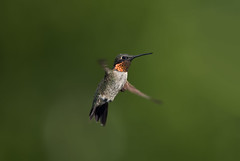Male Hummingbird in Flight_RGB7898 (DansPhotoArt) Tags: morning motion bird love nature fauna speed garden freedom flying inflight wings backyard nikon hummingbird bokeh wildlife tranquility aves growth balance anticipation d200 onthemove freshness bif passaros rubythroatedhummingbird absence fullbody fragility alertness colibris beijaflores picaflores archilocuscolubris hummingbirdinflight