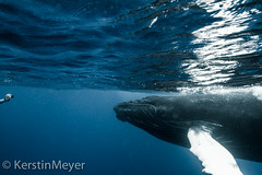 photo shooting with a baby whale ... (kerstin_meyer) Tags: canon eos photo photographer underwater hand dominicanrepublic 7d whale humpback calf humpbackwhale wal megapteranovaeangliae unterwasser cetacea buckelwal silverbanks
