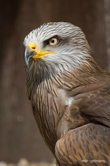 Schwarzmilan / Black Kite (burnett0305 - Thanks for over 175.000 views!) Tags: bird birds canon milvusmigrans blackkite vgel vogel greifvgel falconiformes accipitridae ausrstung canonef100400mmf4556lisusm schwarzermilan habichtartige schwarzmilan canoneos5dmarkiii