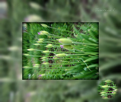 Arrows of the bow. (tarelkaz1) Tags: macro green texture garden spring flora memories topshots flickraward photosandcalendar flowersarebeautiful excellentsflowers natureselegantshots naturethroughthelens sonydscs730 theoriginalgoldseal mygearandme ipiccy