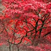 Red Leaves - Kyoto