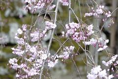 (ddsnet) Tags: travel plant flower japan sony 99  cherryblossom  sakura nippon  kansai  nihon hanami  slt backpackers  flower          wakayamaken   cherry  blossom japan  wakayamashi  flowerinjapan singlelenstranslucent 99v