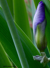 Sheltered Iris Bud (smfmi) Tags: iris floral pentax michigan bud frohm