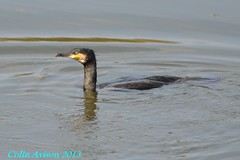 CORMORANT (Colin Avison) Tags: water attenborough naturereserve quarry beeston nottinghamshire wildlifetrust