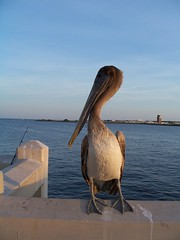 pelican at sunset (craftyhag) Tags: brown bird florida young pelican saintpetersburg dailylife everyday opportunist jouvenile