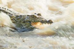 Troubled waters (hvhe1) Tags: africa wild nature animal southafrica flood wildlife rapids safari crocodile disabled mala causeway handicapped gamedrive gamereserve malamala nilecrocodile specanimal crocodylusniloticus hvhe1 hennievanheerden