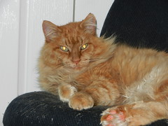 DSCN0620 half sleepy (drayy) Tags: orange cat ginger furry chair soft sleep fluffy sleepy mainecoon neko ggg oreengeness velvetpaws thebiggestgroupwithonlycats