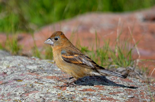 Blue Grosbeak (1st YM)