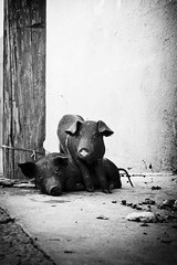 (Daniel Ivn) Tags: street portrait blackandwhite eye animal mxico mexico ojo pig blackwhite eyes floor retrato streetphotography animalrights streetportrait ojos pigs mexique animales contact visual chanchos valledebravo cerdo cerdos animalcruelty blackwhitephotography cerdito blackwhitephoto chanchitos floorlevel chancho chanchito cerditos blackwhitephotos contaco ldlnoir niveldelpiso animalimprisonment