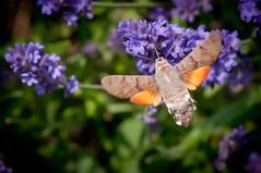 Does anybody know the red spot? (Explore) (svenpetersen1965) Tags: hummingbird moth lavender hawkmoth macroglossumstellatarum taubenschwänzchen