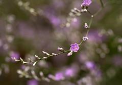 Minuscoli.... (Explored) (Ale*66*) Tags: flowers summer macro estate giardino lilla fiorellini