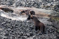 Wharariki Beach-Seals (scrumpy 10) Tags: newzealand beach animals tiere nikon wildlife seals wilderness aotearoa animalplanet neuseeland d800 wildanimals wildtiere whararikibeach jacqualine ozeanien newzealandnature wildimages animalsoftheworld scrumpy10