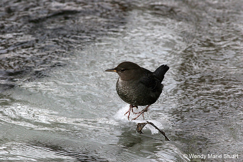Photo - Reflections in Ice - American Dipper stands on an ice in Boulder Creek.
