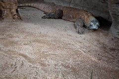 Komodo (Typemutha) Tags: favorite flores art john ma island photography photo amazing search artist dragon image artistic top unique wildlife review champion picture award best monitor lizard professional most photograph excellent species prize favourite popular gili indonesian largest komodo voted highest outstanding viewed the rated searched varanus rinca reviewed komodoensis prestigious padar motang darqhorse