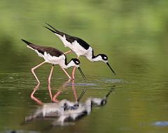 Black-Necked Stilts (Let there be light (A.J. McCullough)) Tags: birds texas stilt brazosbend blacknecked texasbirds avianexcellence